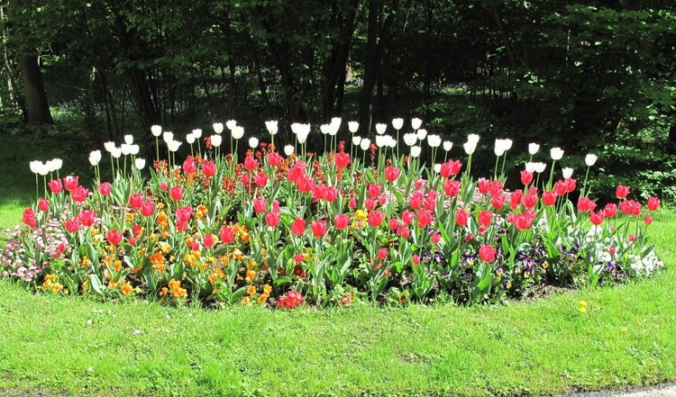 Simple Flower Bed of Tulips